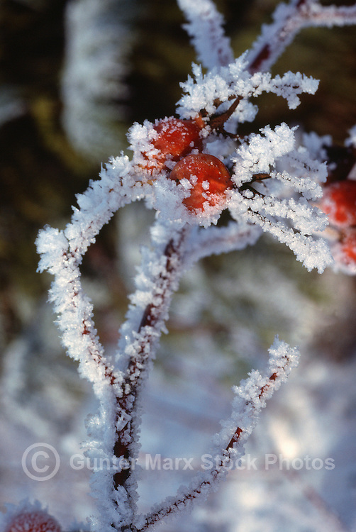 Rose Hips / Rosehips covered with Hoarfrost