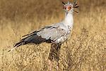 Secretarybird (Sagittarius serpentarius), Ngorongoro Conservation Area, Tanzania
