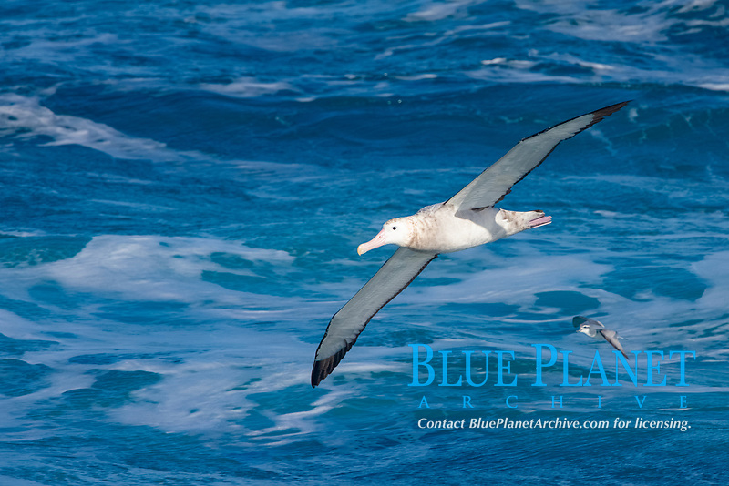 Wandering albatross in flight, over the open sea.  The wandering albatross has the largest wingspan of any living bird, with the wingspan between, up to 12' from wingtip to wingtip.  It can soar on the open ocean for hours at a time, riding the updrafts from individual swells, with a glide ratio of 22 units of distance for every unit of drop.  The wandering albatross can live up to 23 years.  They hunt at night on the open ocean for cephalopods, small fish, and crustaceans. The survival of the species is at risk due to mortality from long-line fishing gear.