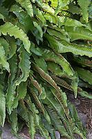 Hirschzungenfarn, Hirschzunge, Hirschzungen-Farn, Asplenium scolopendrium, syn. Phyllitis scolopendrium, Sporangien auf Blattunterseite in Sori, Hart´s Tongue Fern, Scoloendre