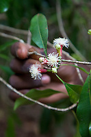 Zanzibar, Tanzania.  Clove Blossoms.  These buds have passed the time for picking.