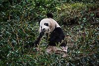 A captive born panda eats bamboo in its enclosure at the Hetaoping Panda Conservation Centre.