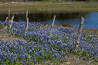 Bluebonnets grow along a wooden barbed-wire fence and pond in the Texas Hill Country, Texas, USA.