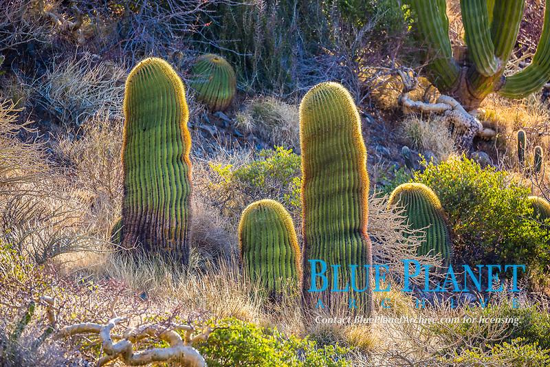 giant barrel cactus, Ferocactus diguetii, endemic species, Isla Santa Catalina, Baja California Sur, Mexico