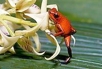 Poison dart frog stands on leaf clutching flower, Costa Rica