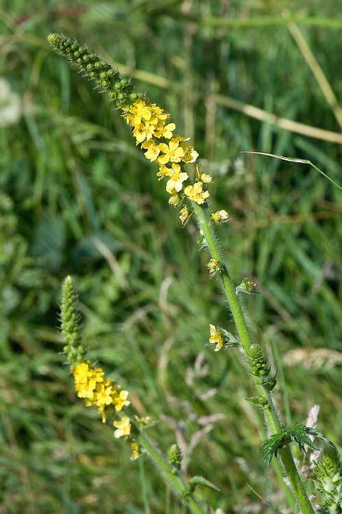 Agrimony (Agrimonia eupatoria), chalk grassland, East Sussex, late June.