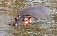 A Hippopotamus, Hippopotamus amphibius, stands in a pond in Serengeti National Park, Tanzania