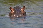 Hippo, Shire River, Malawi