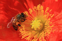A bee get pollen form a poppy flower in a family garden. Poppy does not contain any nectar but bees like the flower for its abundant pollen.