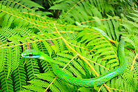 Parrot Snake Leptophis ahaetulla, Selva Verde Nature Reserve, Rio Sarapiqui region, Heredia, Costa Rica