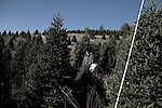"November 23, 2008. Ashe County, NC.. The Christmas tree industry in Ashe County..At the Miller's Christmas Tree Farm, 360.982.3088, Highway 16 N.. Jack Miller, front, cuts a tree for a customer in the ""Choose and Cut"" section of his tree farm.. His father used the land for cattle ranching, but when the bottom dropped out of that industry, the land was turned over to the X-Mas tree industry. . Mr. Miller says he gets about 1500 trees/acre and they ideally grow for 8 years before being cut. 9 or 10 years is the maximum time for a tree to grow before they grow together and get flat sides which makes them unsellable."