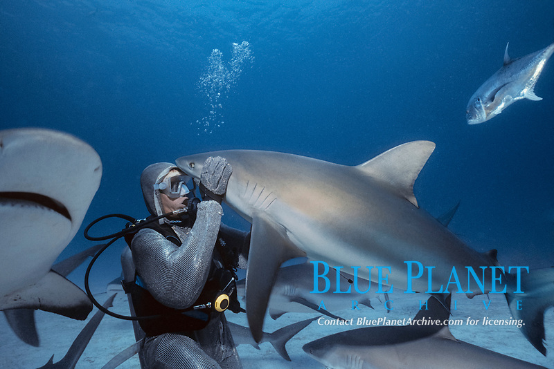 Shark handler feeds Caribbean Reef Sharks (Carcharhinus perezii), Bahamas - Caribbean Sea.
