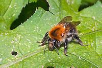 Ackerhummel, Acker-Hummel, Hummel, Bombus pascuorum, syn. Bombus agrorum, Megabombus pascuorum floralis, common carder bee