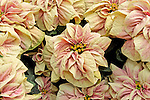 WINTER ROSE EARLY MARBLE POINSETTIA, EUPHORBIA PULCHERRIMA