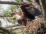 Bald eagle leaving nest in tree.