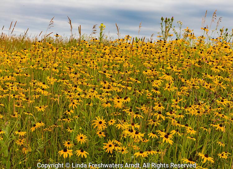 Field of black-eyes Susans growing in northern Wisconsin.