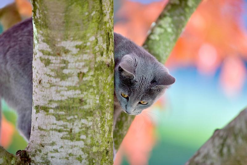 Gray kitten in fall colored tree. Wilsonville, Oregon
