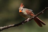 Northern Cardinal female.