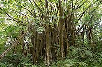 A large banyan tree along the main trail in 'Akaka Falls State Park, Honomu, Big Island.