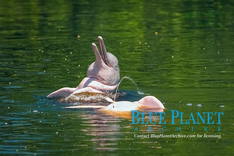 Amazon Pink River Dolphin or Boto (Inia geoffrensis) Rio Negro, BRAZIL
