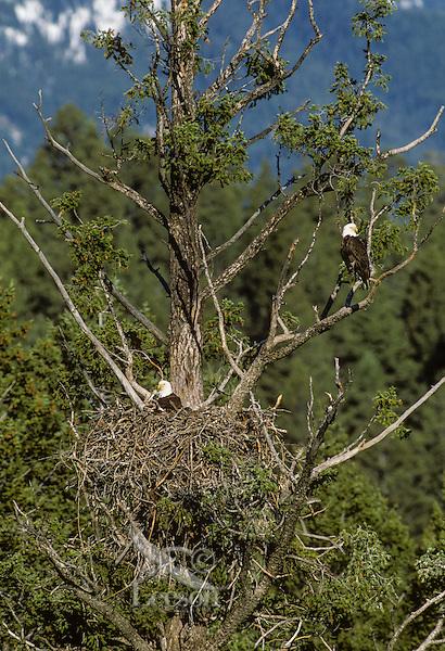 Bald Eagles at nest in ponderosa pine tree.  Western North America.  Spring.