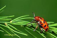 1C12-019b   Asparagus Beetle - Crioceris duodecimpunctata