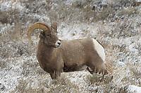 Bighorn Sheep Ram,  Miller Butte, Grand Tetons