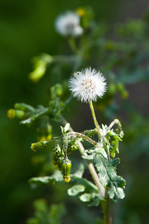 Groundsel (Senecio vulgaris), end April.