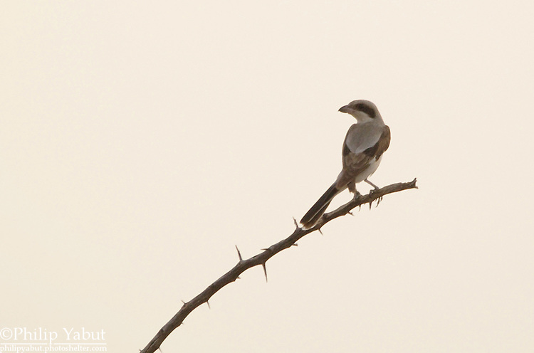 Lesser gray shrike (Lanius minor), Hwange National Park, Zimbabwe