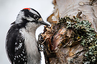 Downy Woodpecker (Picoides pubescens) in Southcentral Alaska. Photo by James R. Evans