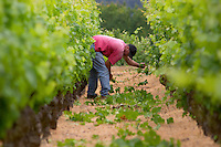 Removing unwanted branches and leaves, epamprage, efeuillage. Domaine Chateau de la Roche aux Moines, Savennieres, Anjou, Loire, France