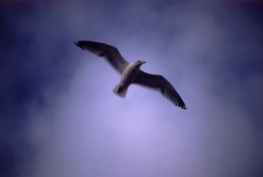 Europe, Flying Seagull....[ For each utilisation of my images my General Terms and Conditions are mandatory. Usage only against use message and proof. Download of my General Terms and Conditions under http://www.image-box.com or ask for sending. A clearance before usage is necessary...Material is subject to royalties. Each utilisation of my images is subject to a fee in accordance to the present valid MFM-List...Contact   archive@image-box.com   www.image-box.com ]