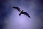Europe, Flying Seagull....[ For each utilisation of my images my General Terms and Conditions are mandatory. Usage only against use message and proof. Download of my General Terms and Conditions under http://www.image-box.com or ask for sending. A clearance before usage is necessary...Material is subject to royalties. Each utilisation of my images is subject to a fee in accordance to the present valid MFM-List...Contact | archive@image-box.com | www.image-box.com ]