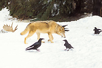 gray wolf, Canis lupus, with its prey, moose, Alces alces, leg with common raven bird, Corvus corax, in the foothills of the Takshanuk mountains, northern southeast , Alaska, USA