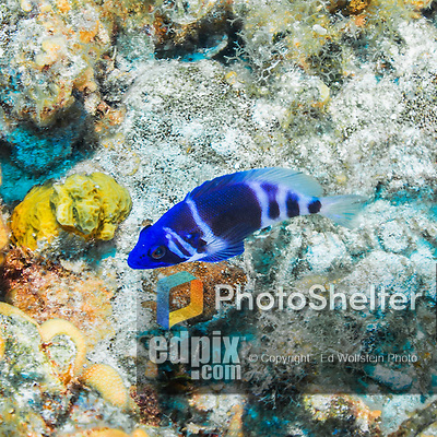 20 June 2016: An Indigo Hamlet (Hypoplectrus indigo) swims on a reef near the Wreck of the Doc Poulson off the shores of 7-Mile Beach on the West side of Grand Cayman Island. Located in the British West Indies in the Caribbean, the Cayman Islands are renowned for excellent scuba diving, snorkeling, beaches and international banking.  Mandatory Credit: Ed Wolfstein Photo *** RAW (NEF) Image File Available ***