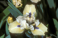 Iris Sarah Taylor, yellow with blue beard GR6811
