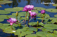 0904-0808  Tropical Water Lilies, Nymphaea spp. © David Kuhn/Dwight Kuhn Photography.