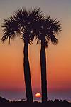 Palm trees, Cumberland Island, Georgia, USA