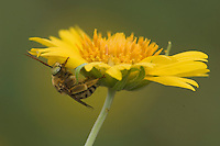 Bee on Golden Crownbeard (Verbesina encelioides), Willacy County, Rio Grande Valley, Texas, USA, June 2006