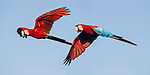 Pair of Red-and-Green Macaws or Green-winged Macaws (Ara chloropterus) in flight. Chapada dos Guimarães, Brasil.