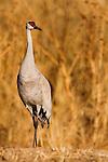 Sandhill Crane (Grus canadensis), Bosque del Apache National Wildlife Refuge, New Mexico