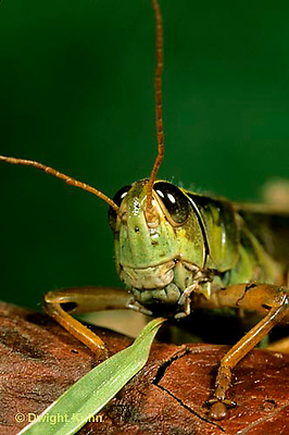 """OR03-040a   Grasshopper - eating leaf, short horned or """"true"""" grasshopper, two-striped grasshopper - Melanoplus bioittatus"""