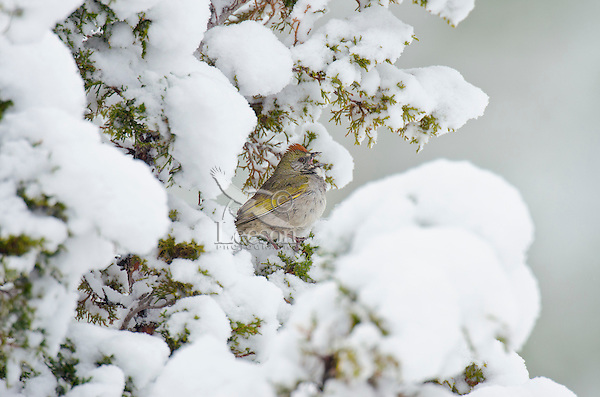 Green-tailed Towhee (Pipilo chlorurus) singing from snowy juniper tree branch.  Western U.S., spring.