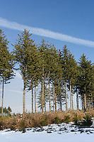 Le pin Douglas est l'espece de pin la plus cultivees en Correze. Ici, sur le plateau de Millevaches..
