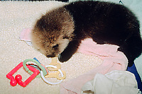 5 week old California southern sea otter pup, Enhydra lutris nereis, endangered species, otter-safe toys like this plastic key ring help soothe teething pups, rescued & being raised in the SORAC program at the Monterey Bay Aquarium, California c