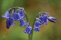 Bluebell (Hyacinthoides non-scripta), Nethan Gorge