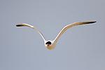 Caspian Tern (Sterna caspia) flying, Salinas River National Wildlife Refuge, Monterey Bay, California