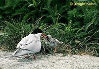MC74-003z  Arctic Tern - parent feeding young chick - Machias Seal Island, Bay of Fundy - Sterna paradisaea