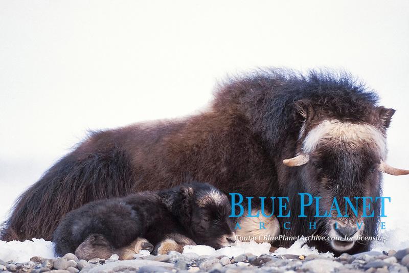 muskox, musk ox, Ovibos moschatus, cow and newborn calf resting, central Arctic coastal plain, North Slope of the Brooks Range, Alaska, USA