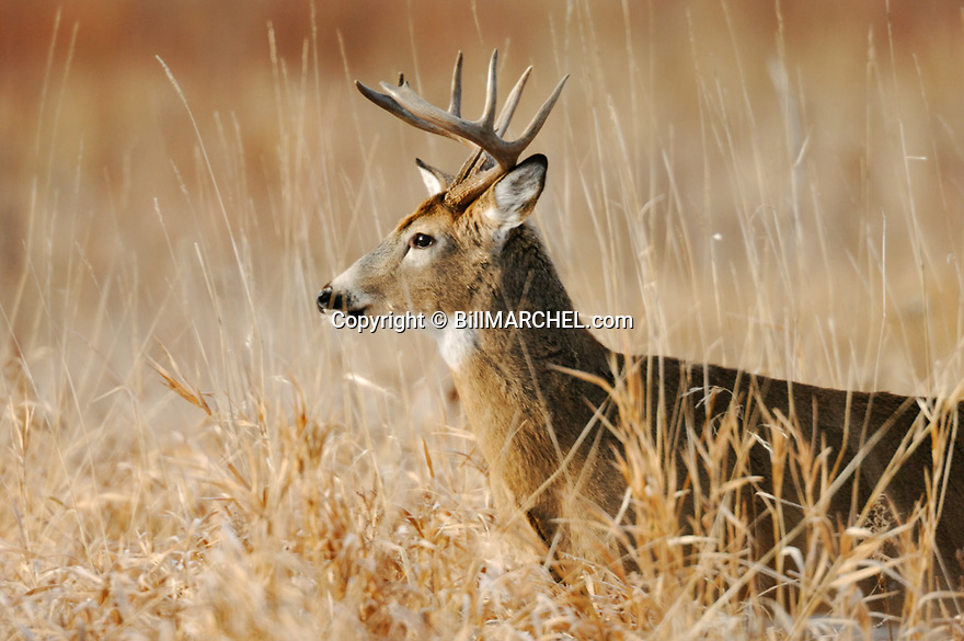 00274-310.12 White-tailed Deer Buck (DIGITAL) is in lowland meadow on fall day after recent snow.  Hunt, hunting.  H7L1